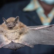 Bats a Major Global Reservoir of Coronaviruses