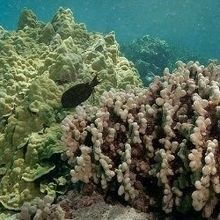 Warming to Blame for Coral Bleaching in Hawaii