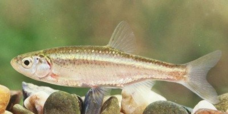 Male Fish Borrows Egg to Clone Itself