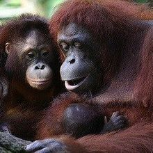 Orangutans Nurse Their Young for More than Eight Years