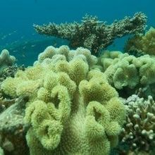 A Coral to Outlast Climate Change
