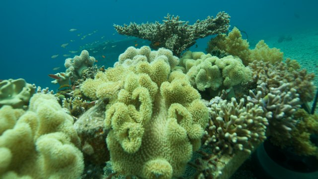 a coral to outlast climate change the scientist magazine