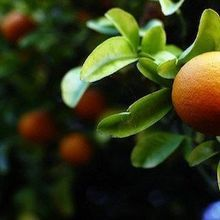 Geneticists Engineer a Virus to Fight Citrus Disease