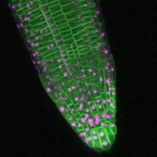 Image of the Day: Faster Than a Speeding Root Tip