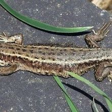 Warmer Temps Tied to Altered Microbiome in Lizards