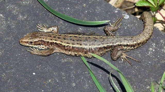 warmer temps tied to altered microbiome in lizards the scientist