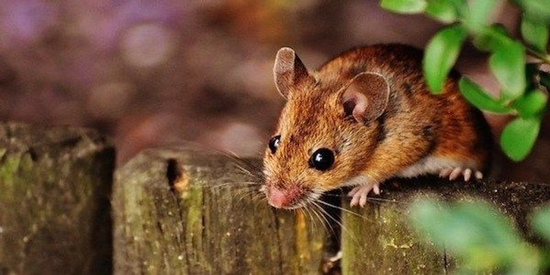 Immunological Differences Between Lab Mice and Wild Mice