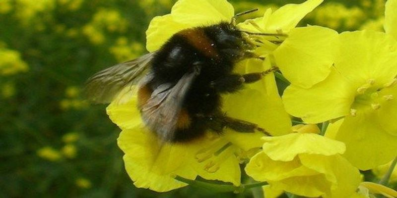 More Details on How Pesticides Harm Bees