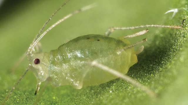 Advantages of asexual reproduction in aphids on plants