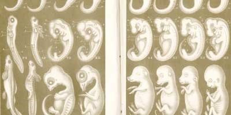 Embryonic Evolution Through Ernst Haeckel's Eyes