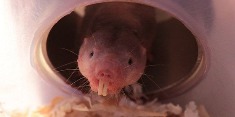 Naked Mole Rats Can Survive Long Periods Without Oxygen
