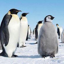 Image of the Day: World Penguin Day