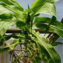 Record-Setting Corn Grows 45 Feet Tall