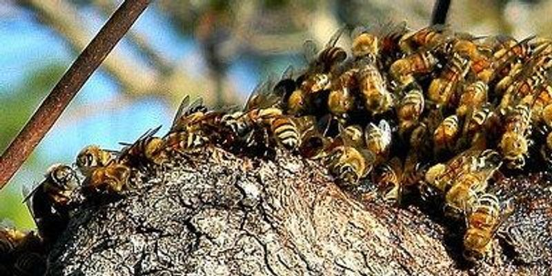 In Certain Social Bees, Gut Microbiomes Follow Phylogeny