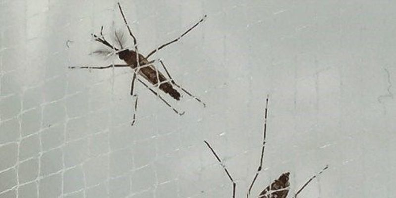 Texas Considers GM Mosquitoes