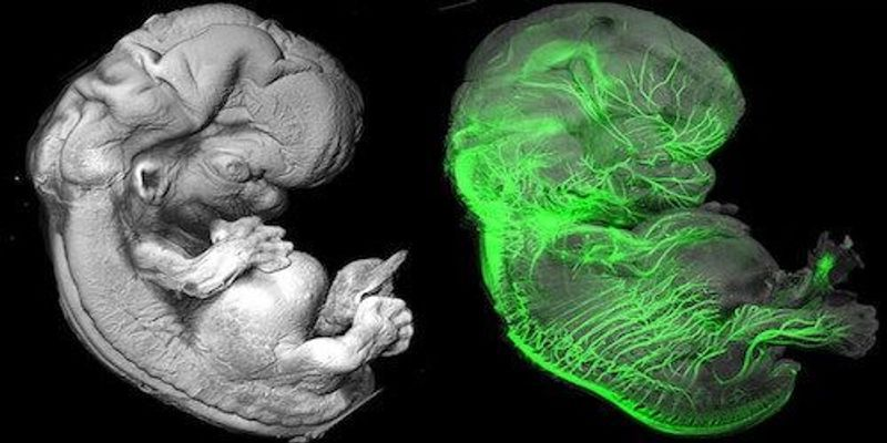 Image of the Day: See-Through Embryos