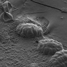 Unstructured Proteins Help Tardigrades Survive Desiccation