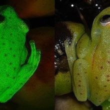 Scientists Discover First Fluorescent Frog