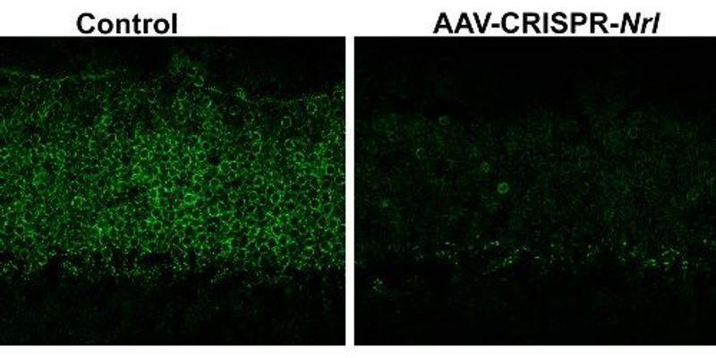 CRISPR-Based Therapy Prevents Retinal Degeneration