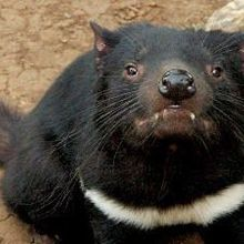 Tasmanian Devil Cancer Immunotherapy
