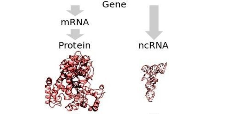 Study: Most Long Noncoding RNAs Likely Functional