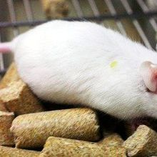 Human Gut Microbe Transplant Alters Mouse Behavior