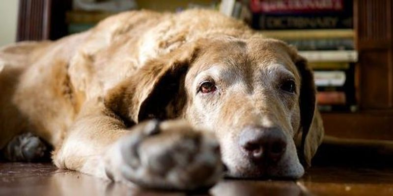 Opinion: Canine Models for Alzheimer's