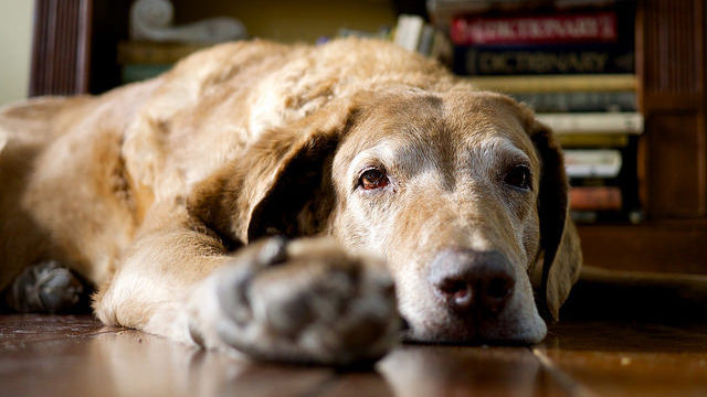 Dog models for Alzheimer's