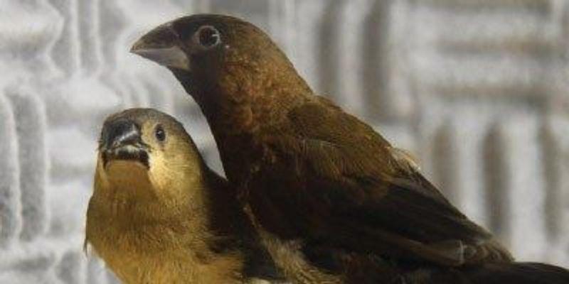 Birds Possess an Innate Vocal Signature Based on Silent Gaps