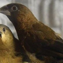 Birds Possess an Innate Vocal Signature Based on Silent Gaps