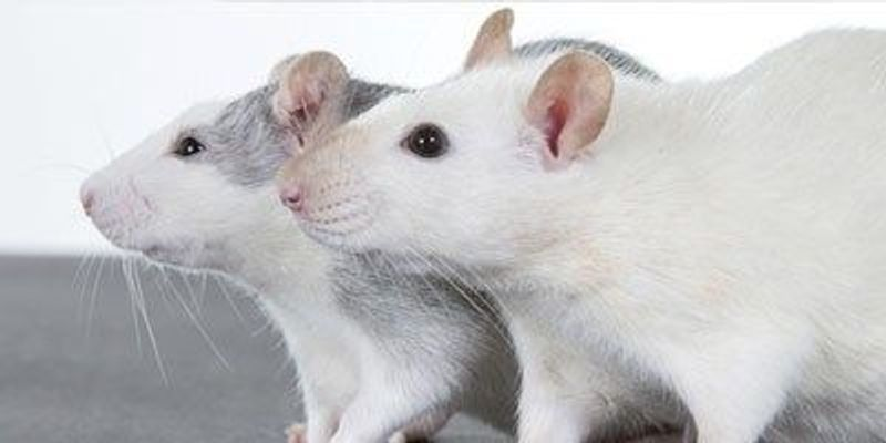Researchers Study Rodent Songs They Can't Hear