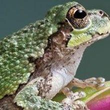 Untangling the Social Webs in Frog Choruses