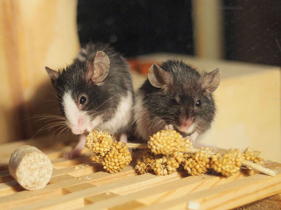 Research on mouse memory and sex
