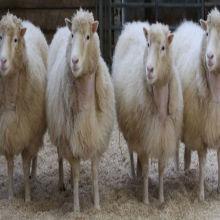 Opinion: Is a Clone Really Born at Age Zero? | The Scientist Magazine®