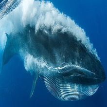 """""""Waviness"""" Protects Nerves When Whale Mouths Stretch"""