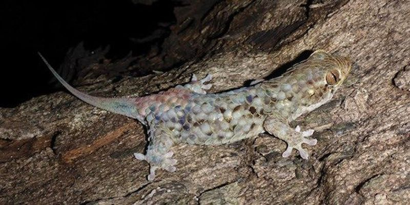 A New Species of Gecko Defensively Sheds Its Scales