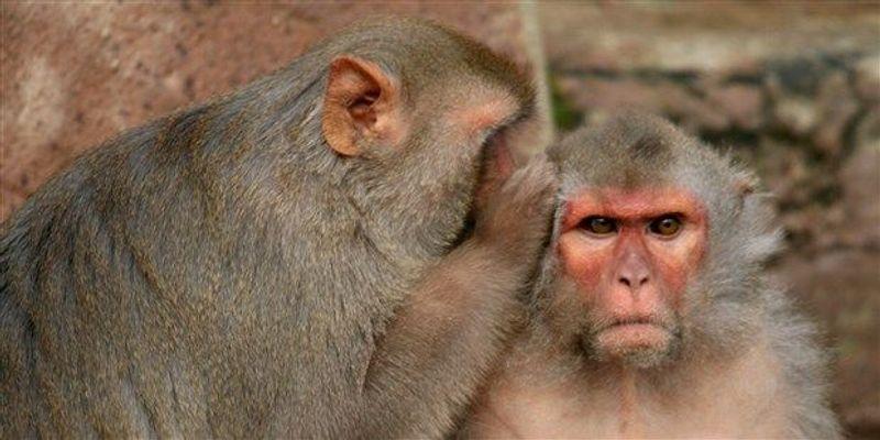 Study: Male Contraceptive Prevents Pregnancy in Monkeys