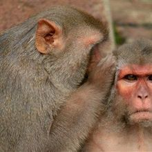 Study: Male Contraceptive Prevents Pregnancy in Monkeys