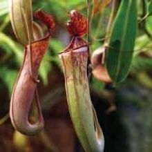 Pitcher Plant Enzymes Digest Gluten in Mouse Model