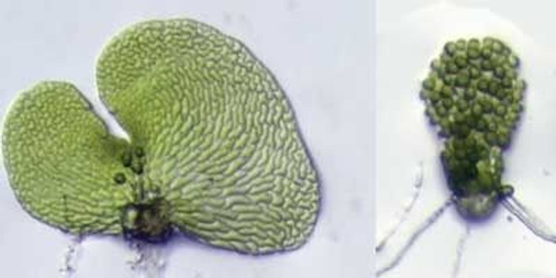 Abscisic Acid's Role in Ferns Finally Determined