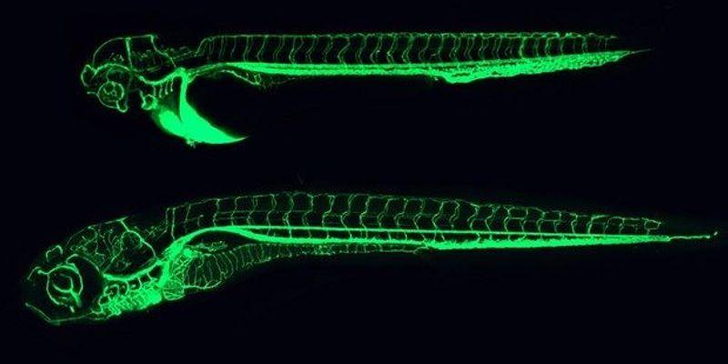 Monitoring Post-Mortem Gene Transcription in Mice and Zebrafish