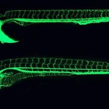 Monitoring Post-Mortem Gene Transcription in Mice and Zebrafish