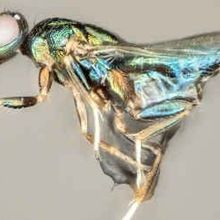 Study: One Wasp Takes Control of Another