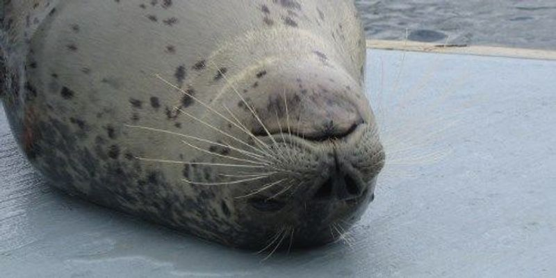 Seal Whiskers Can Detect Weak Water Currents