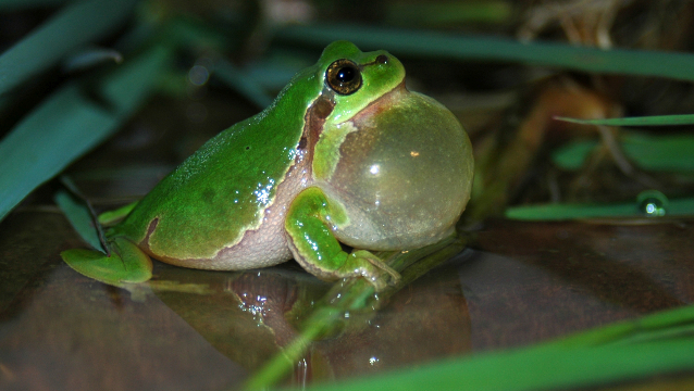 how traffic noise affects tree frogs the scientist magazine