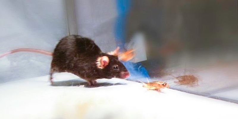 Scientists Activate Predatory Instinct in Mice