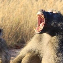 Baboons Can Make Sounds Found in Human Speech