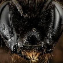 First Bumblebee Species Declared Endangered in U.S.