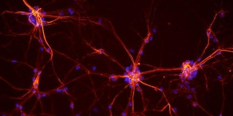 Researchers Refute Proposed Neuron Migration Pathway