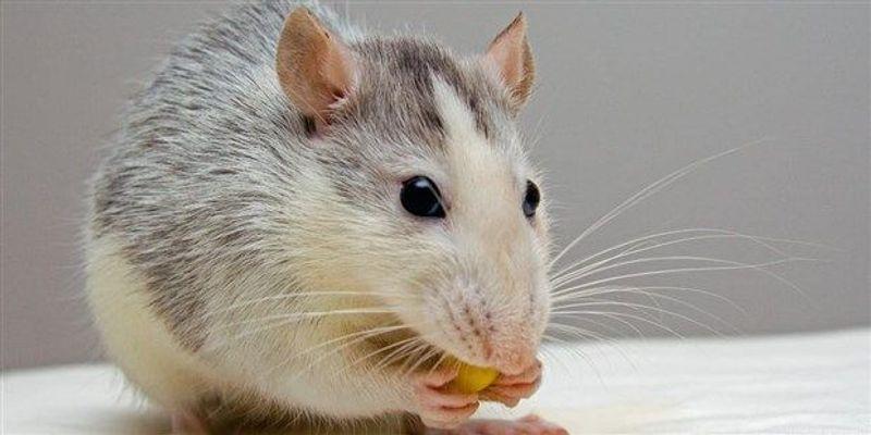 Enhancing Stem Cells Helps Regenerate Damaged Teeth in Mice